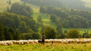 Shepherd and sheep - Will God Protect from Harm?